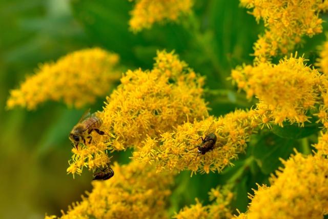 日本のブタクサの花粉の飛散時期と量差について